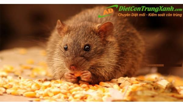 Ánh Dương Pest control mang đến dịch vụ diệt chuột hiệu quả