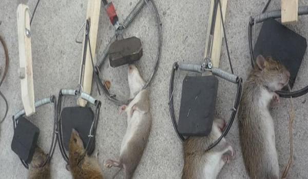 Cách đuổi chuột hiệu quả mà không cần nuôi mèo