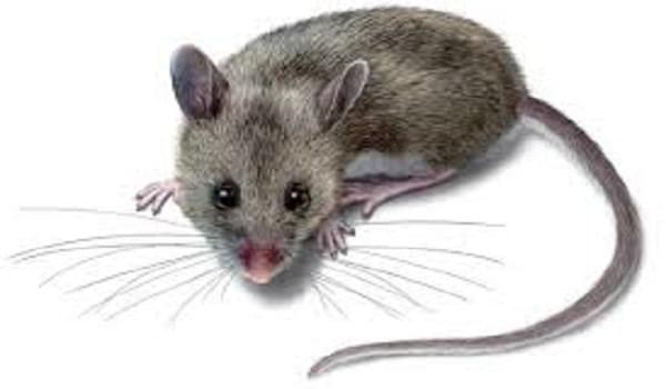 Chọn mèo bắt chuột giỏi