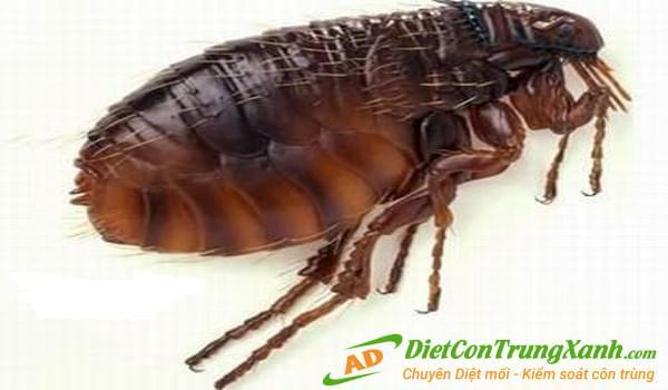 Đặc điểm sinh thái và sinh học loài bọ chét