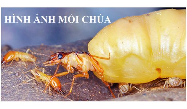 Dịch vụ diệt mối tại nhà tại Hà Nội