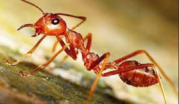 Giải đáp thắc mắc thuốc diệt kiến có độc không