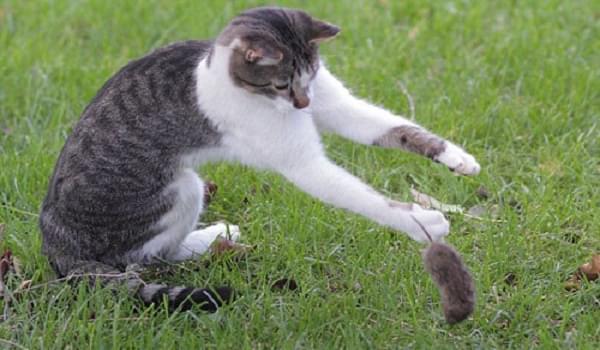 Huấn luyện mèo có khả năng bắt chuột giỏi