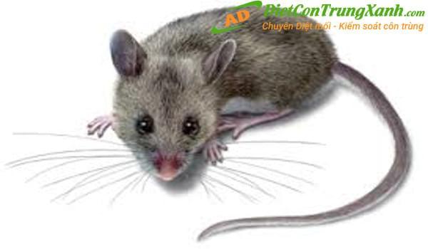 Những dấu hiệu nhận biết xem chuột đã xâm nhập vào nhà hay chưa?