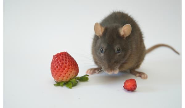 Những phương pháp diệt chuột dân gian cực kỳ hiệu quả