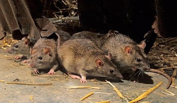 Tác hại do loài chuột gây ra thật khủng khiếp.
